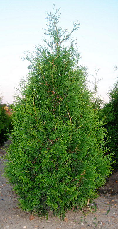 купить семена туи западной брабант thuja occidentalis brabant seeds саженцы