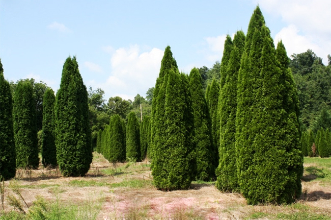 продажа семян туи западной Смарагд thuja occidentalis Smaragd seeds огромный каталог семян туи в питомнике растений