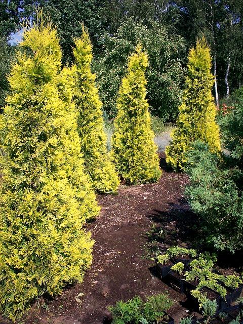 купить семена туи западной ауресценс thuja occidentalis aurescens seeds sale в лучшем магазине семян декоративных растений