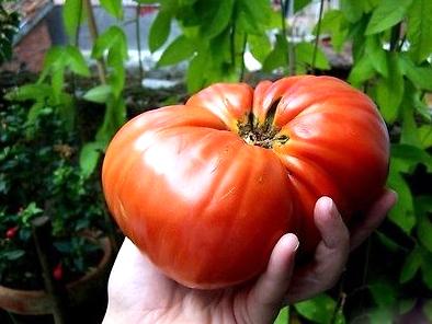 купить лучшие сорта томатов bear claw seeds медвежий коготь урожайный сорт помидор закупка семян