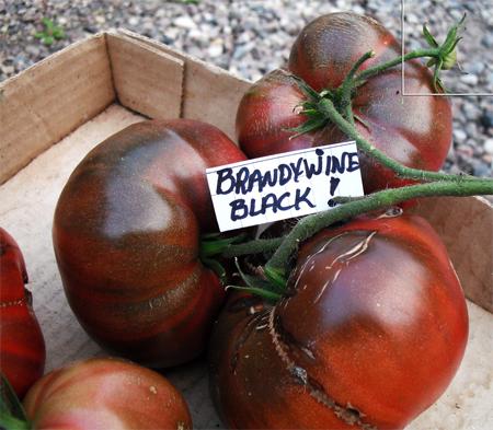 распродажа семян помидора brandywine black seeds в питомнике растений расада
