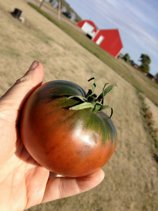 закупка семян помидоров cherokee purple seeds купить