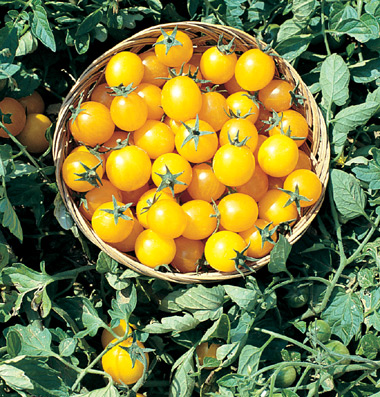 купить семена томата Gold Nugget seeds