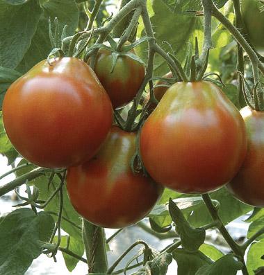 продам семена томата Japanese Black Trifele seeds купить