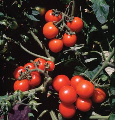 семена томата Washington Cherry seeds