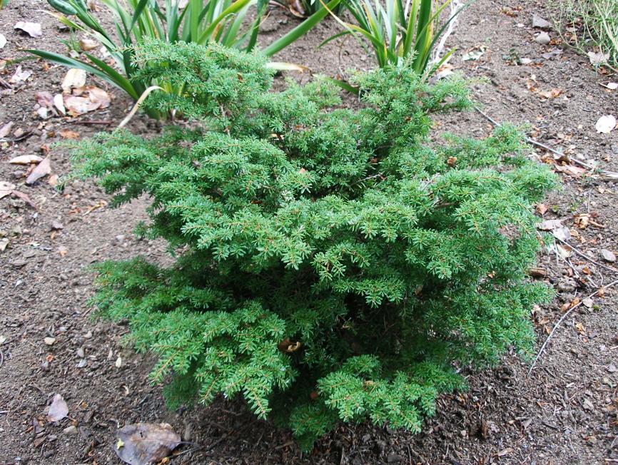 купить семена тсуга tsuga diversifolia цена