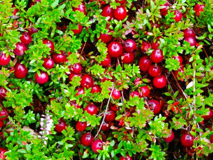 семена клюквы крупноплодной Vaccinium macrocarpum seeds сортовые саженцы клюквы дешево купить piligrim franklin stevens