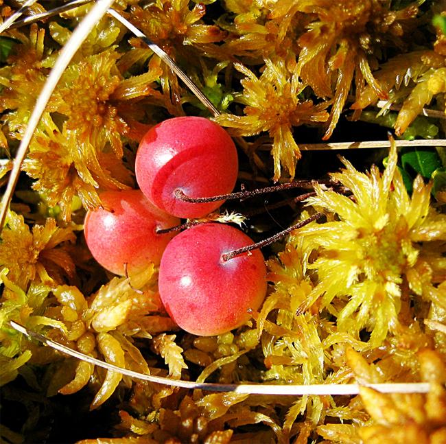 продажа семян и саженцев клюквы крупноплодный Vaccinium oxycoccos seedling много сортов посадочного материала клюквы
