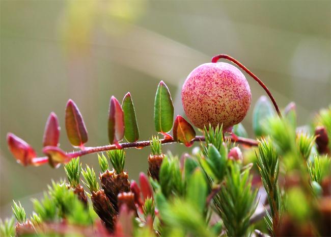 семена клюквы болотной Vaccinium oxycoccos seeds саженцы клюквы дешево купить