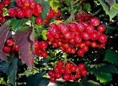 купить с доставкой семена калина трехлопастная Viburnum trilobum seeds закупка семян оптом