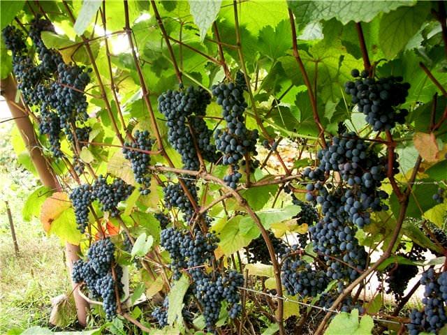 купить семена виноград уссурийский vitis amurensis seeds саженцы редких сортов винограда