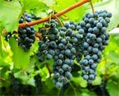 продажа семян и саженцев виноград амурский vitis amurensis seeds в крупнейшем питомнике Москвы