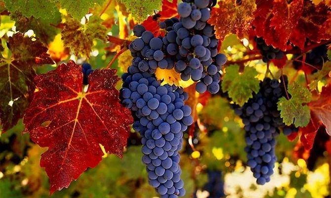 продаем семена винограда амурского vitis amurensis seeds лучшие семена и саженцы